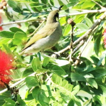 Honeyeater, Graceful3