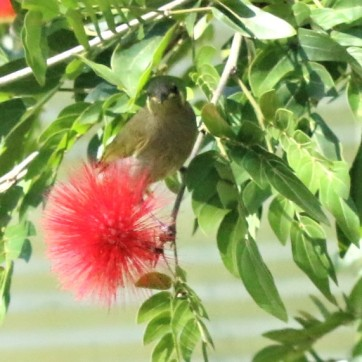 Honeyeater, Graceful6