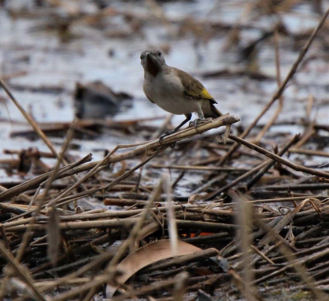 Honeyeater, Ruffous-throated 2