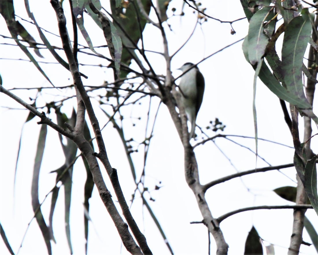 Honeyeater, White-throated
