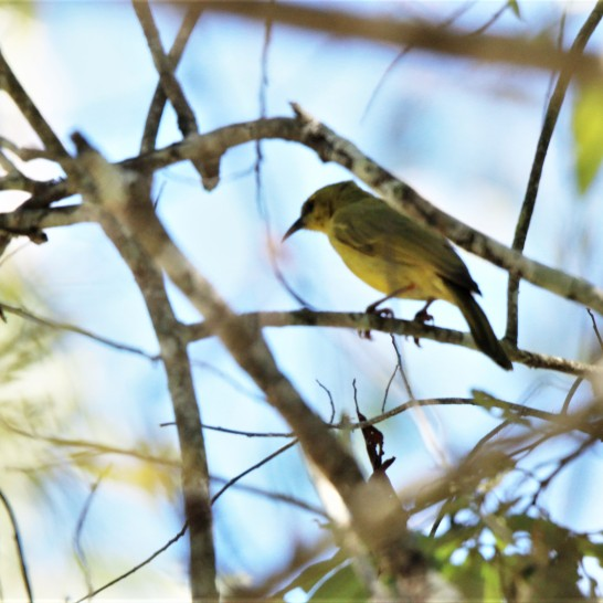 Honeyeater, Yellow2
