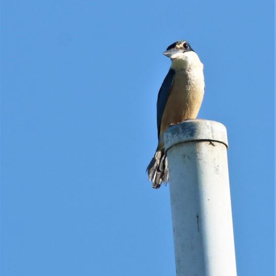 Kingfisher, Sacred2