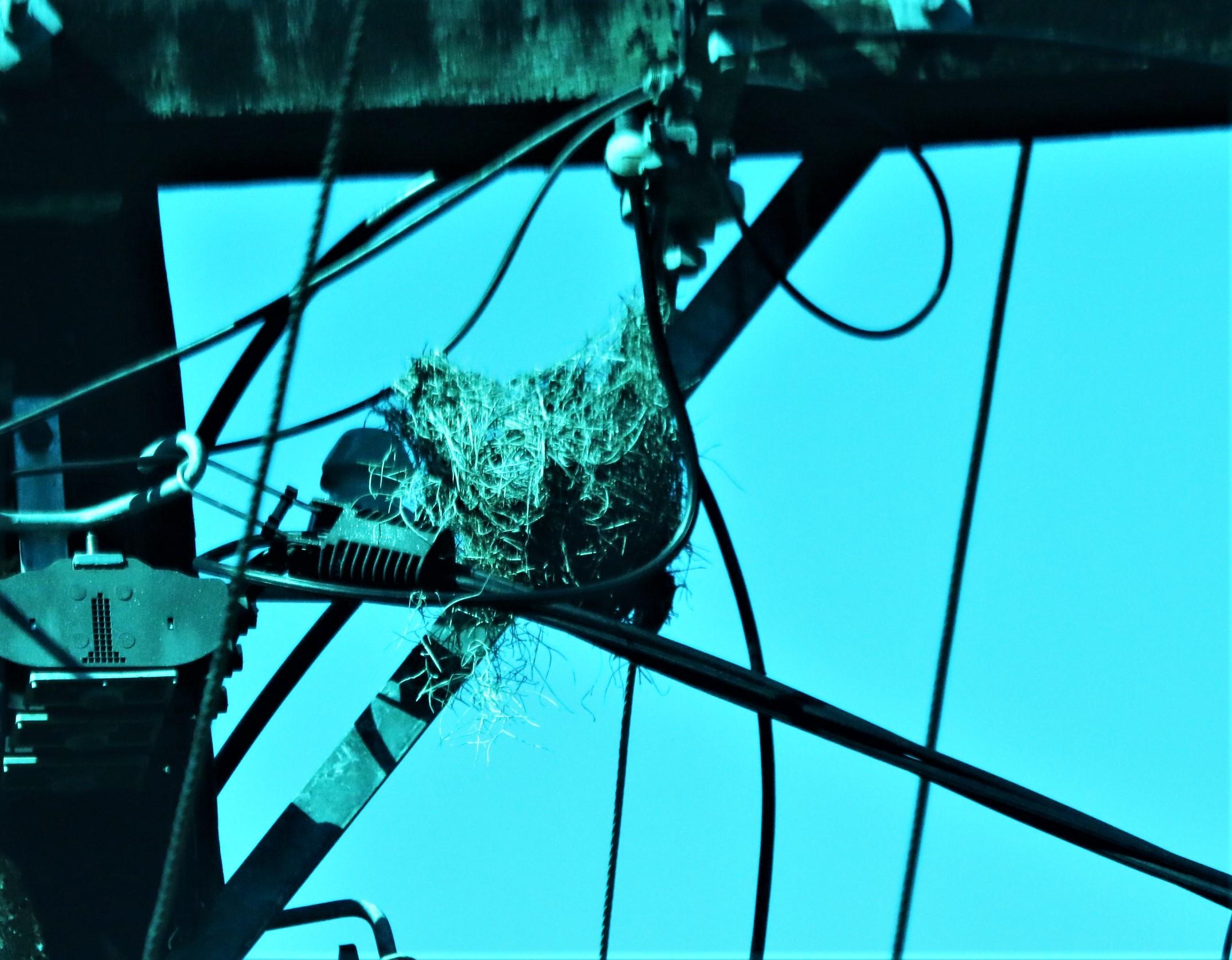 nest, Blue-faced honeyeater