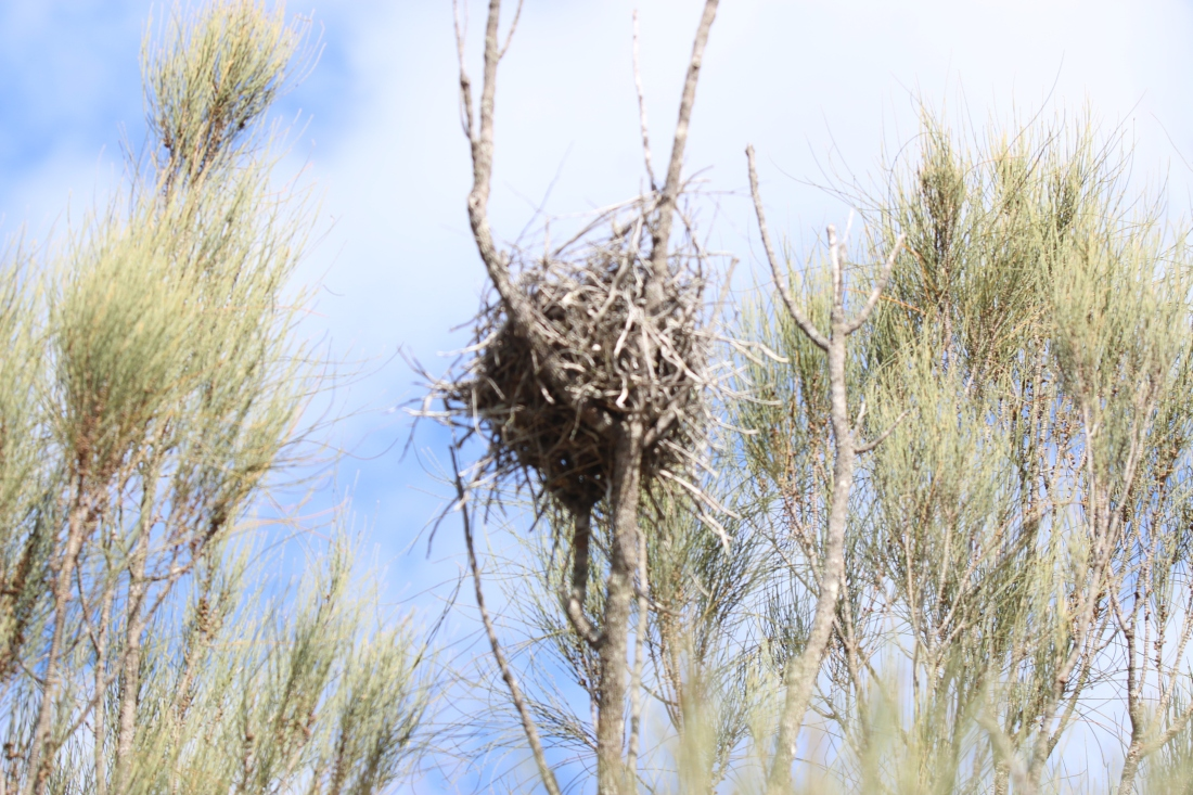 Nest, Great Brown Babbler
