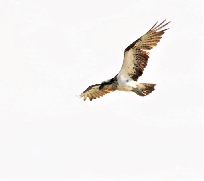 Osprey juv