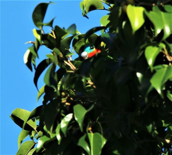Parrot, fig m