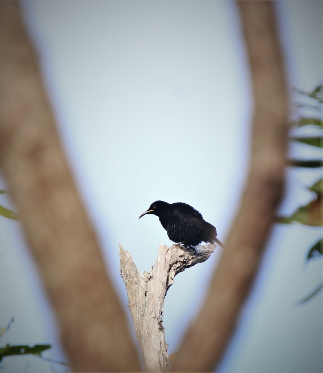 Riflebird, Victoria's 2