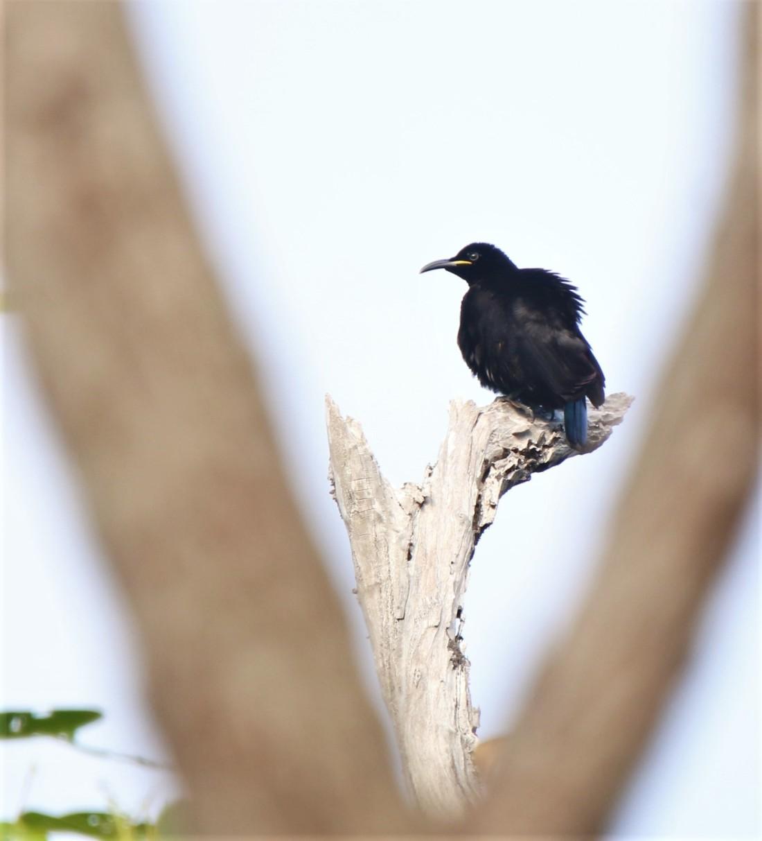 Riflebird, Victoria's m
