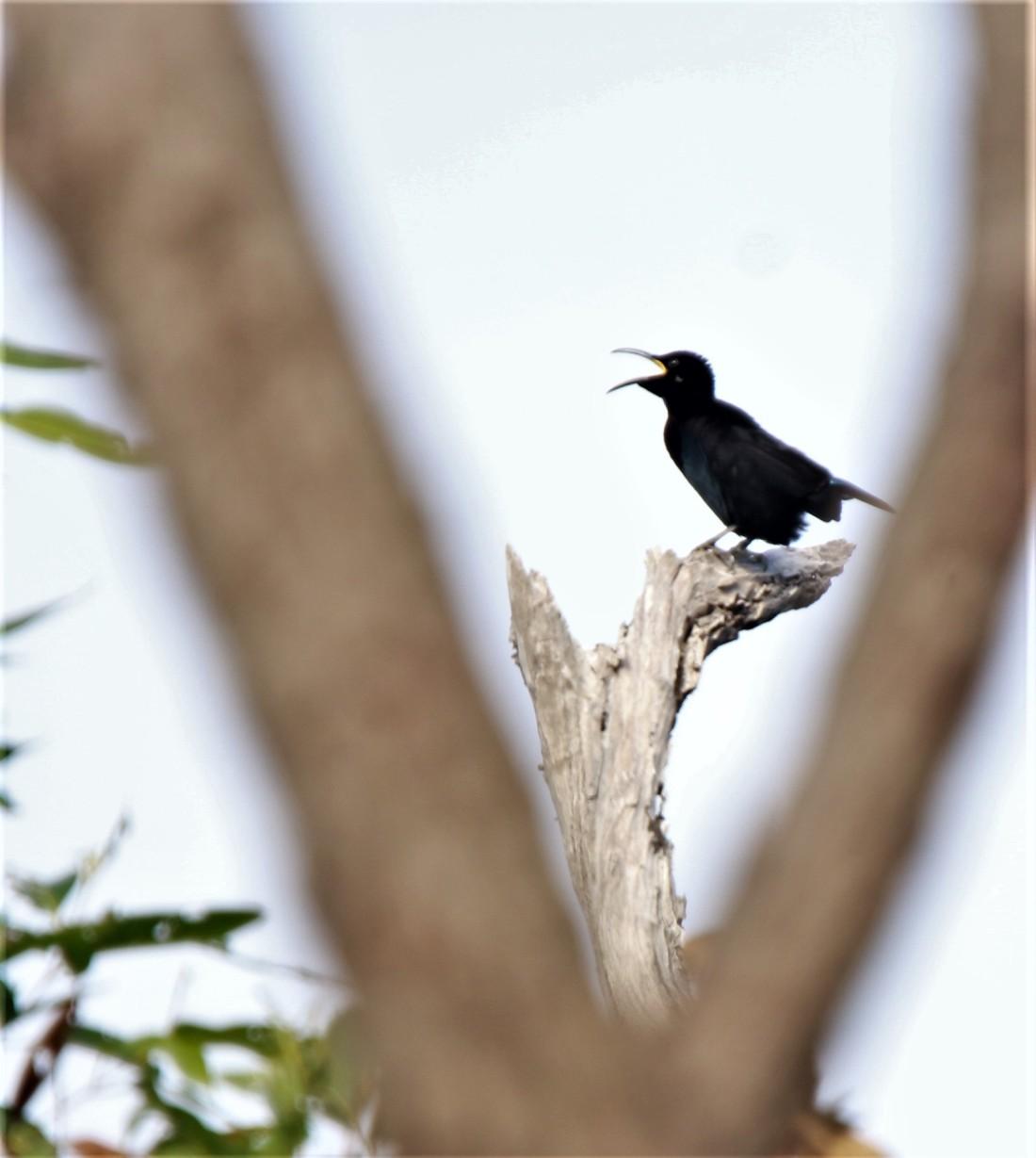 Riflebird, Victoria's m3