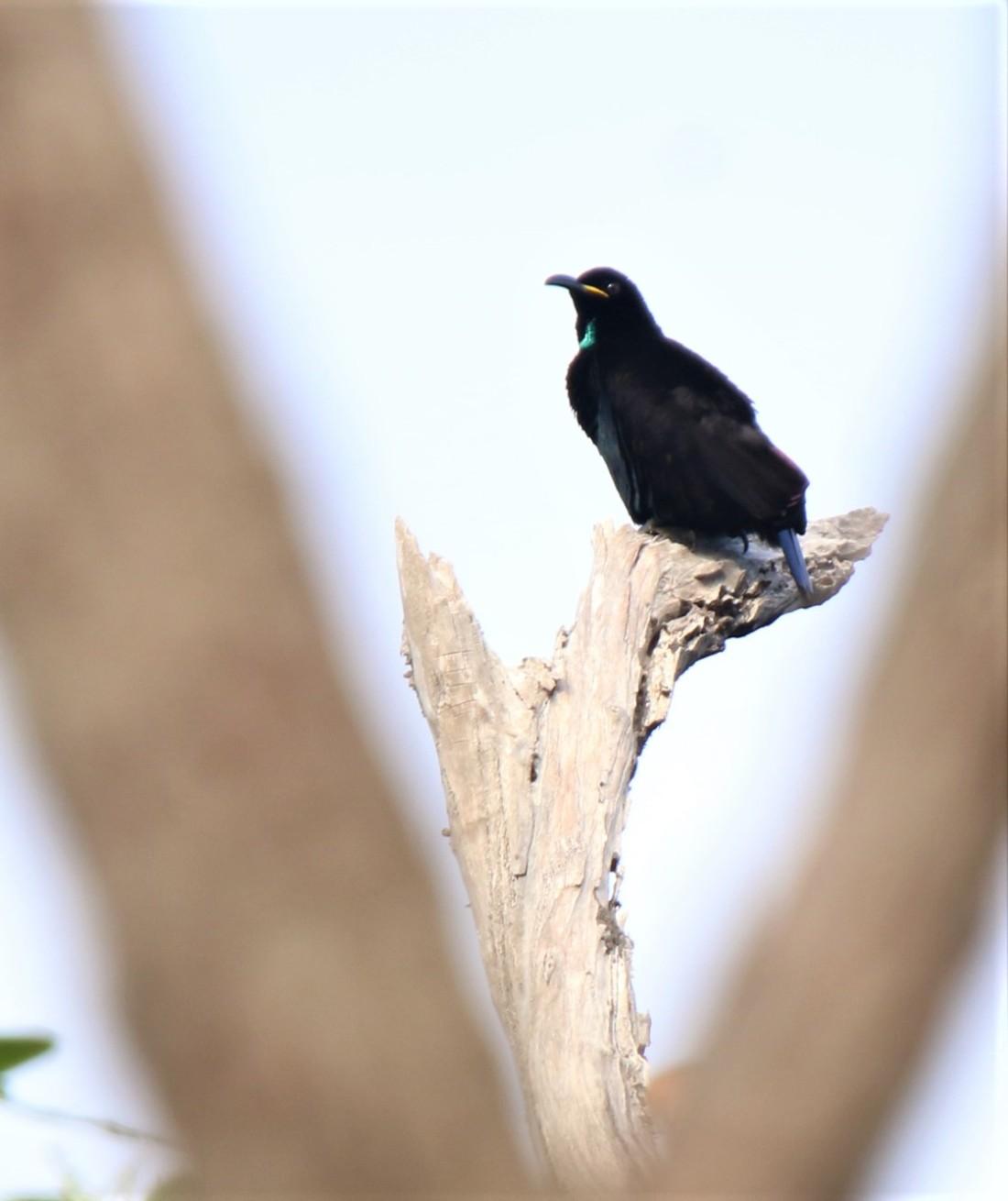 Riflebird, Victoria's m4