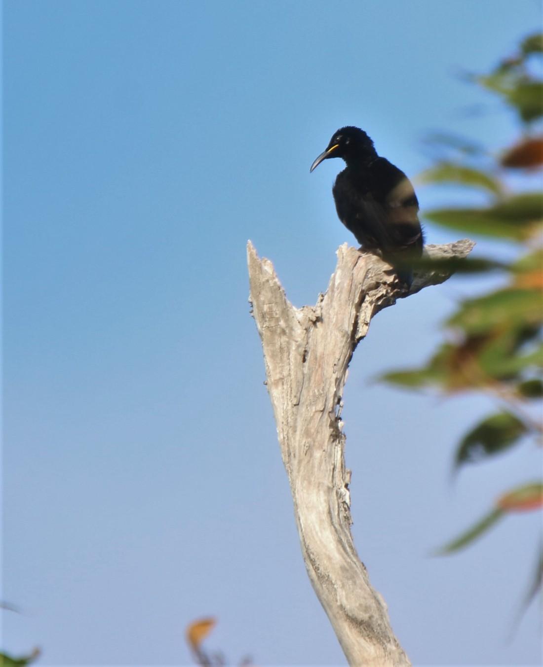 Riflebird, Victoria's m5