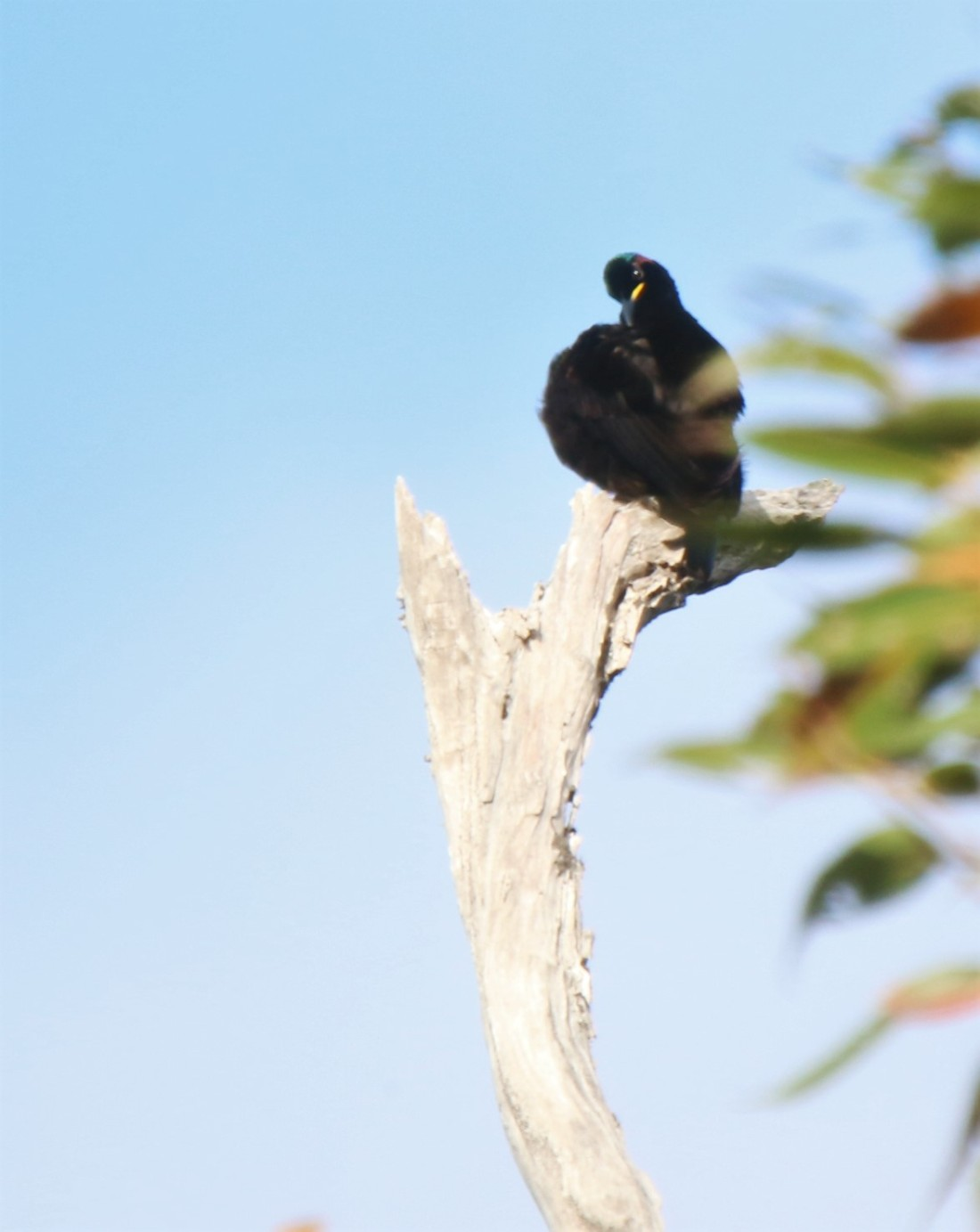 Riflebird, victoria's m6
