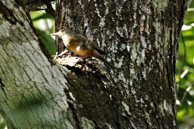 Shrike-thrush, Little 3