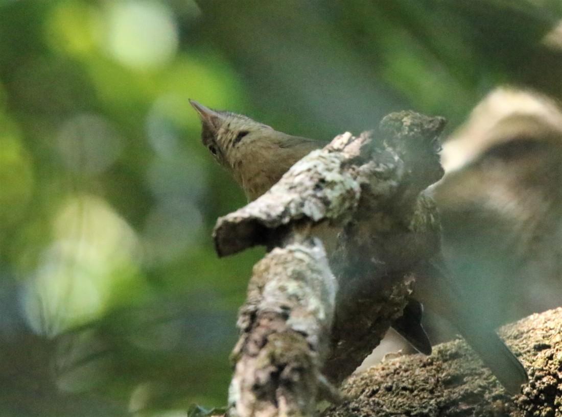 Shrike-thrush, Little