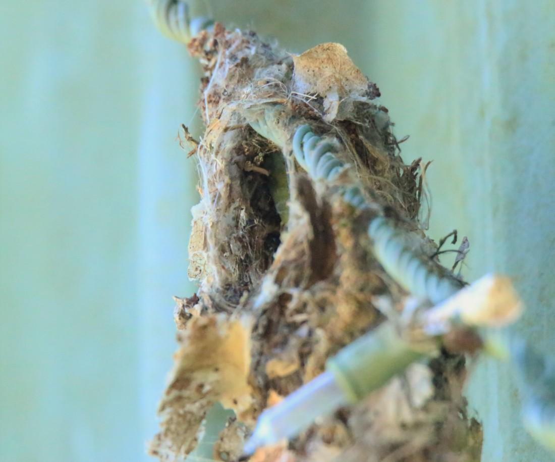 Sunbird nest, fem inside