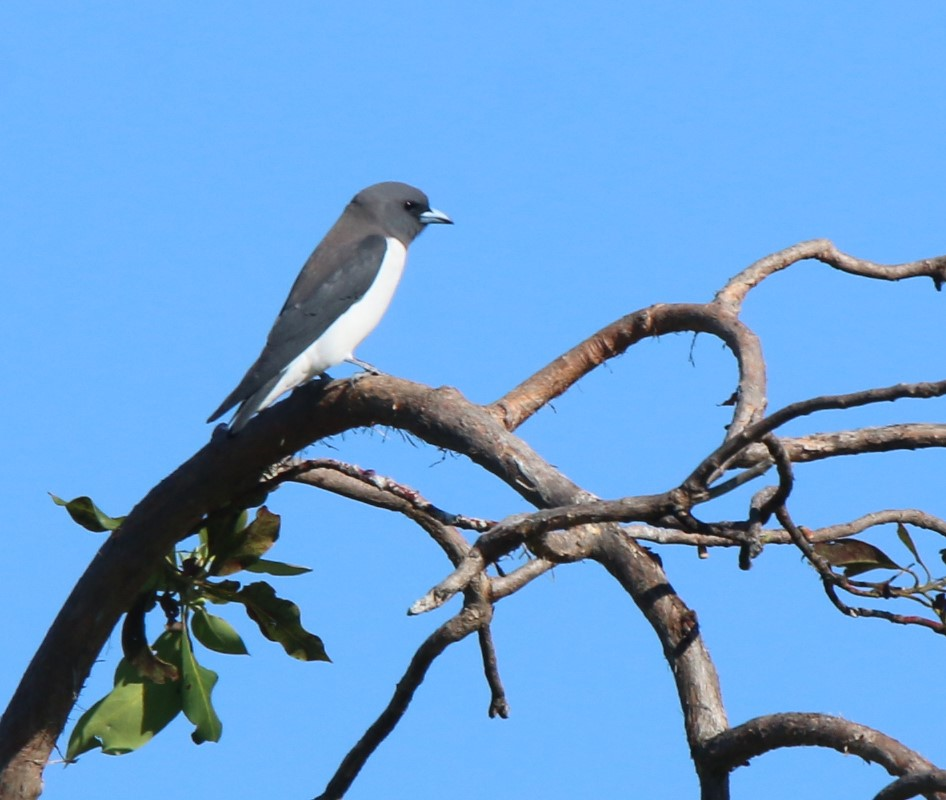 Woodswallow, White-breasted