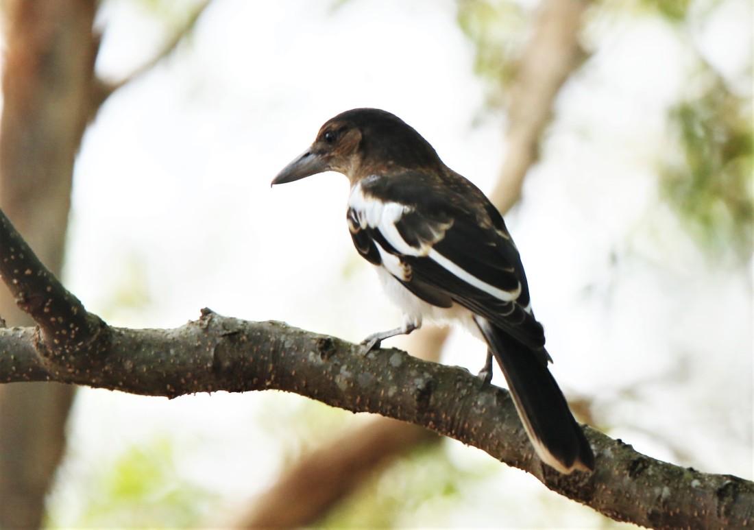 Butcherbird, Pied Imm r nigrogularis