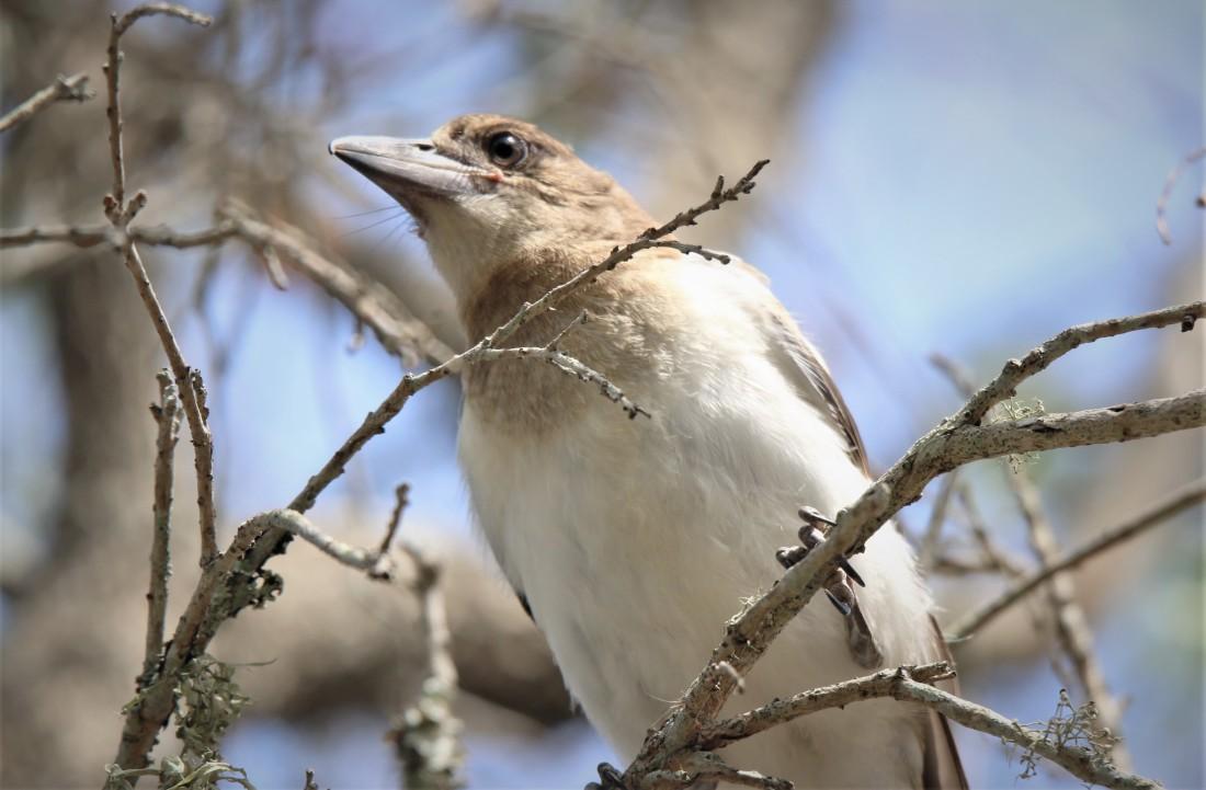 Butcherbird, Pied juv