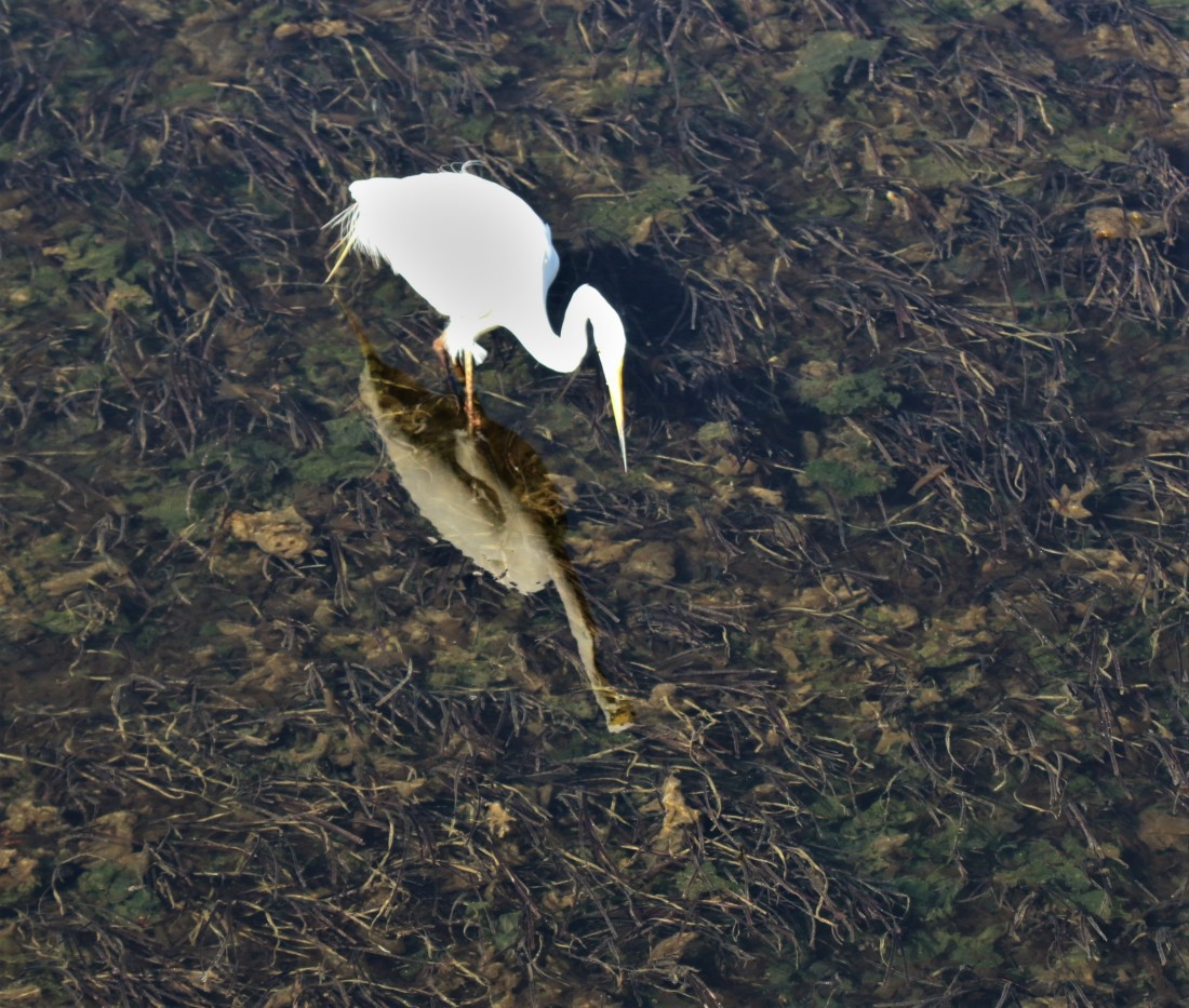 Egret, Little (2)
