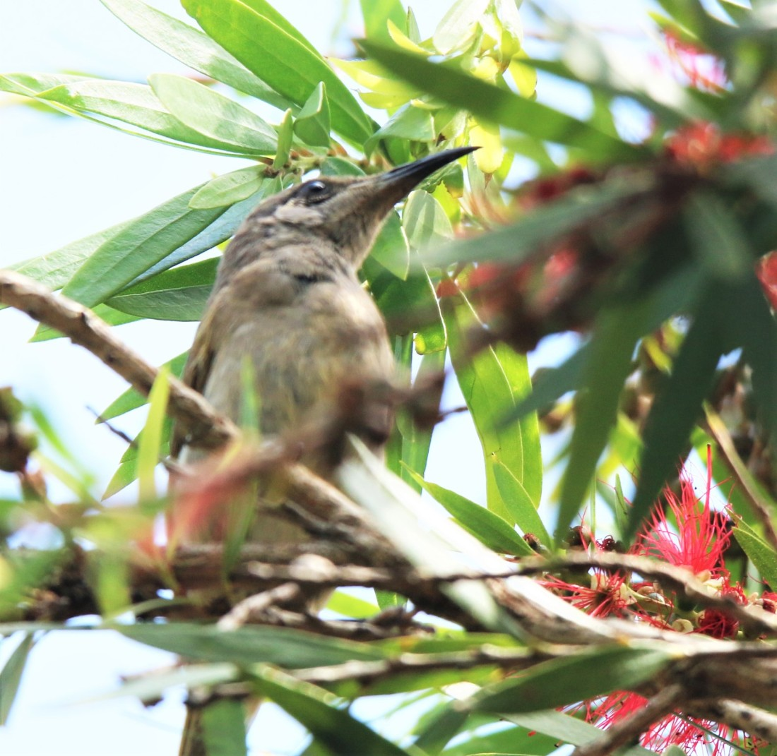 Honeyeater, White-eared juv r. leucolis