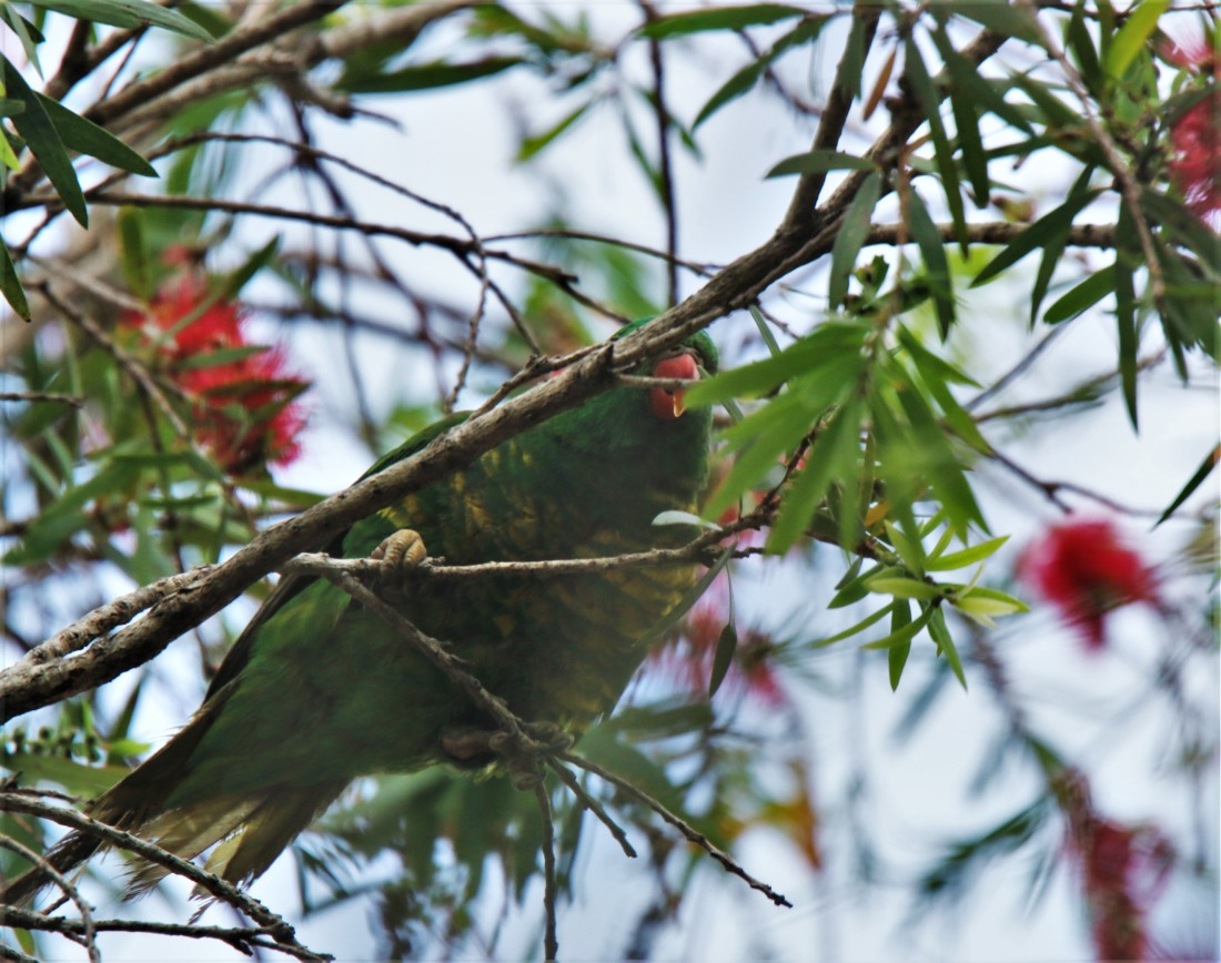 Lorikeet, Scaly-breasted