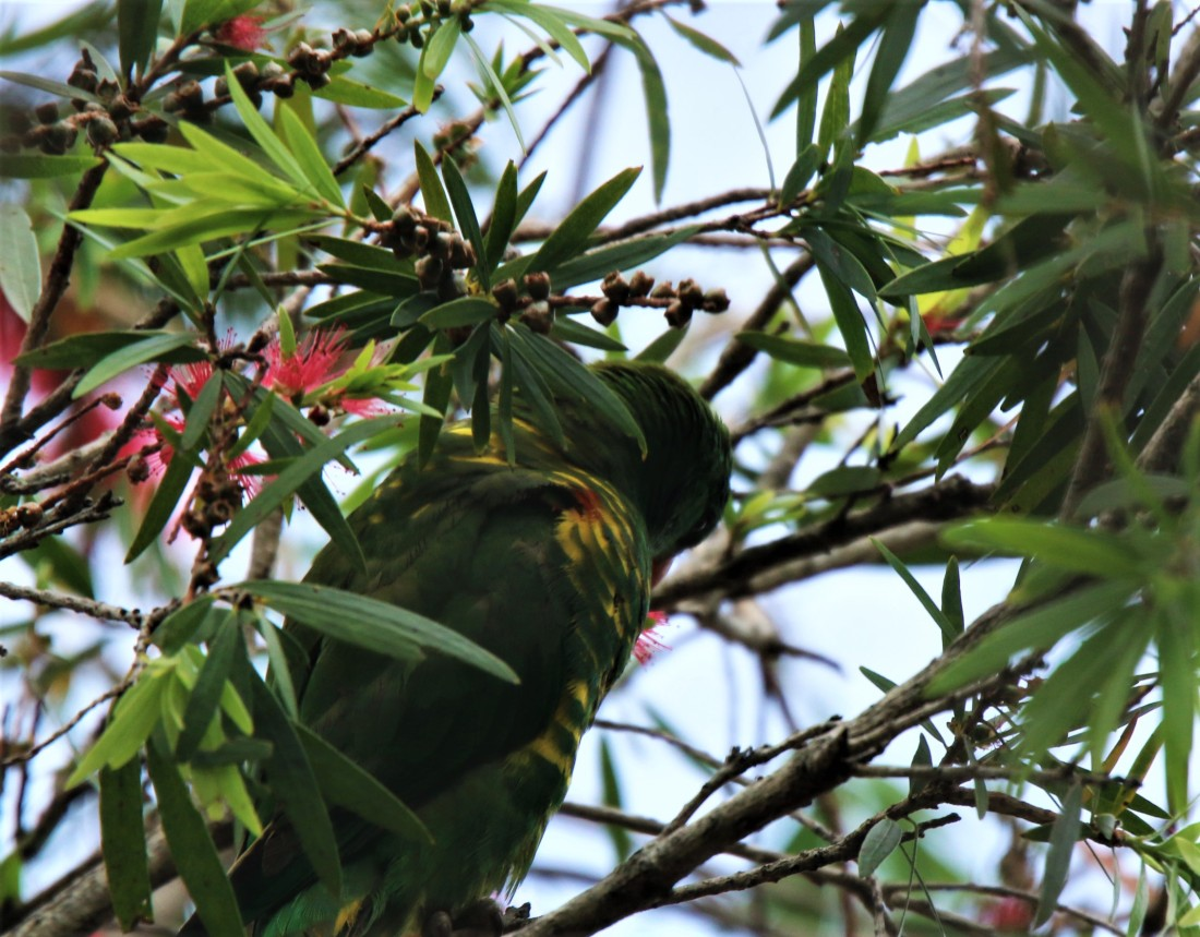 Lorikeet, Scaly-breasted2