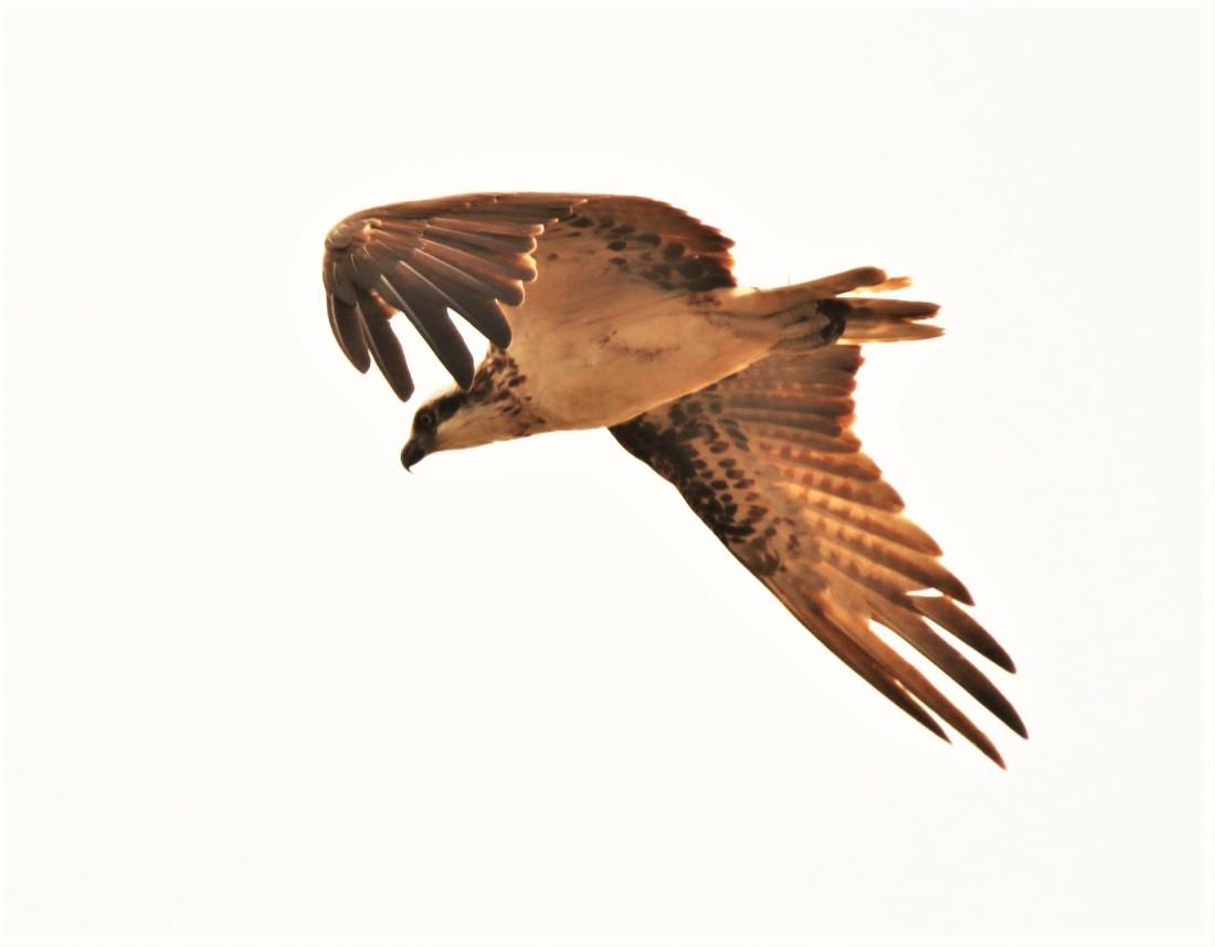 Osprey, Eastern 2