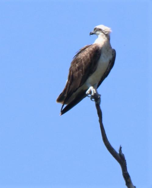 Osprey, Eastern ad m