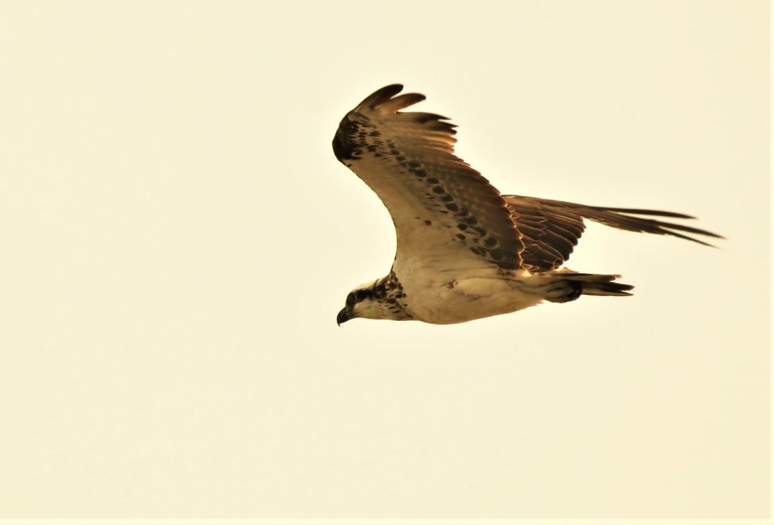 Osprey, Eastern juv