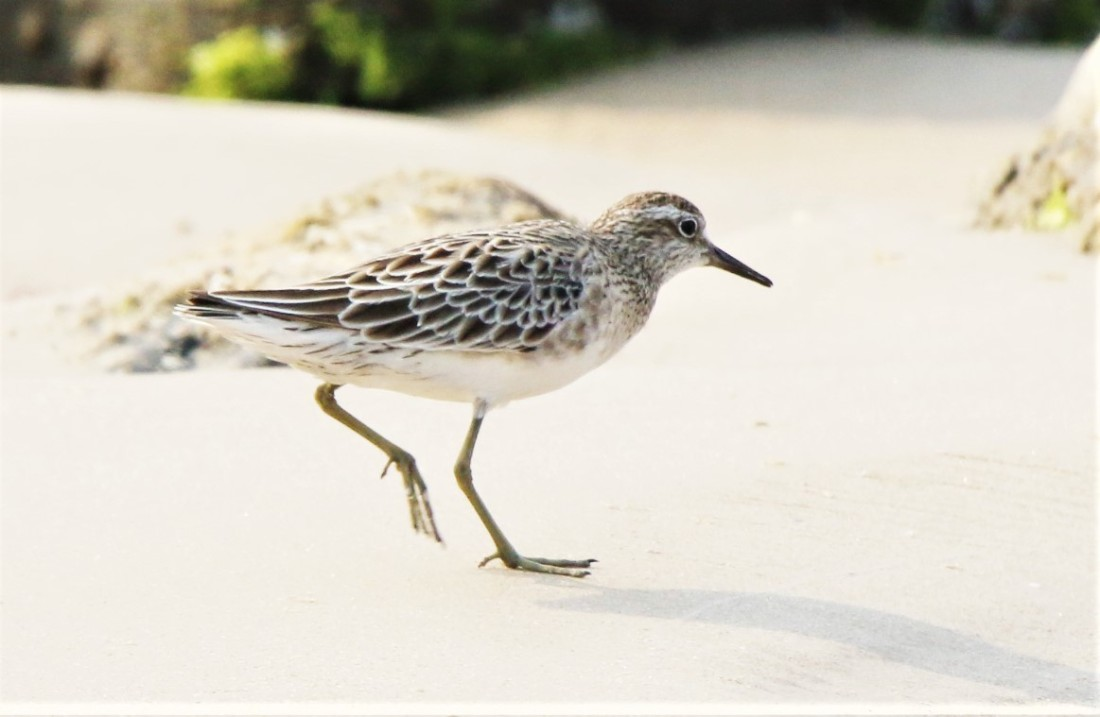 Sandpiper, Sharp-tailed