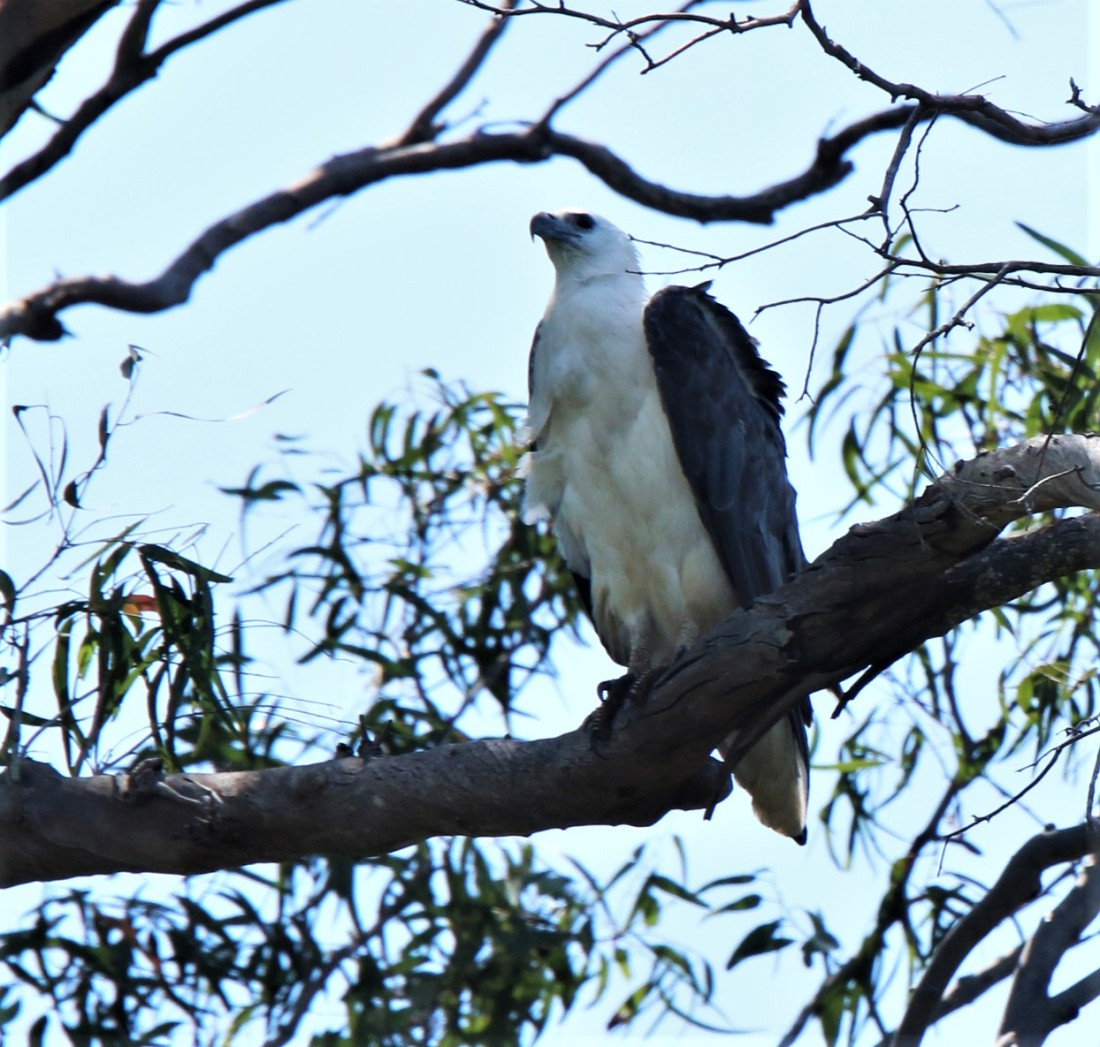 Sea-eagle, White-bellied 2