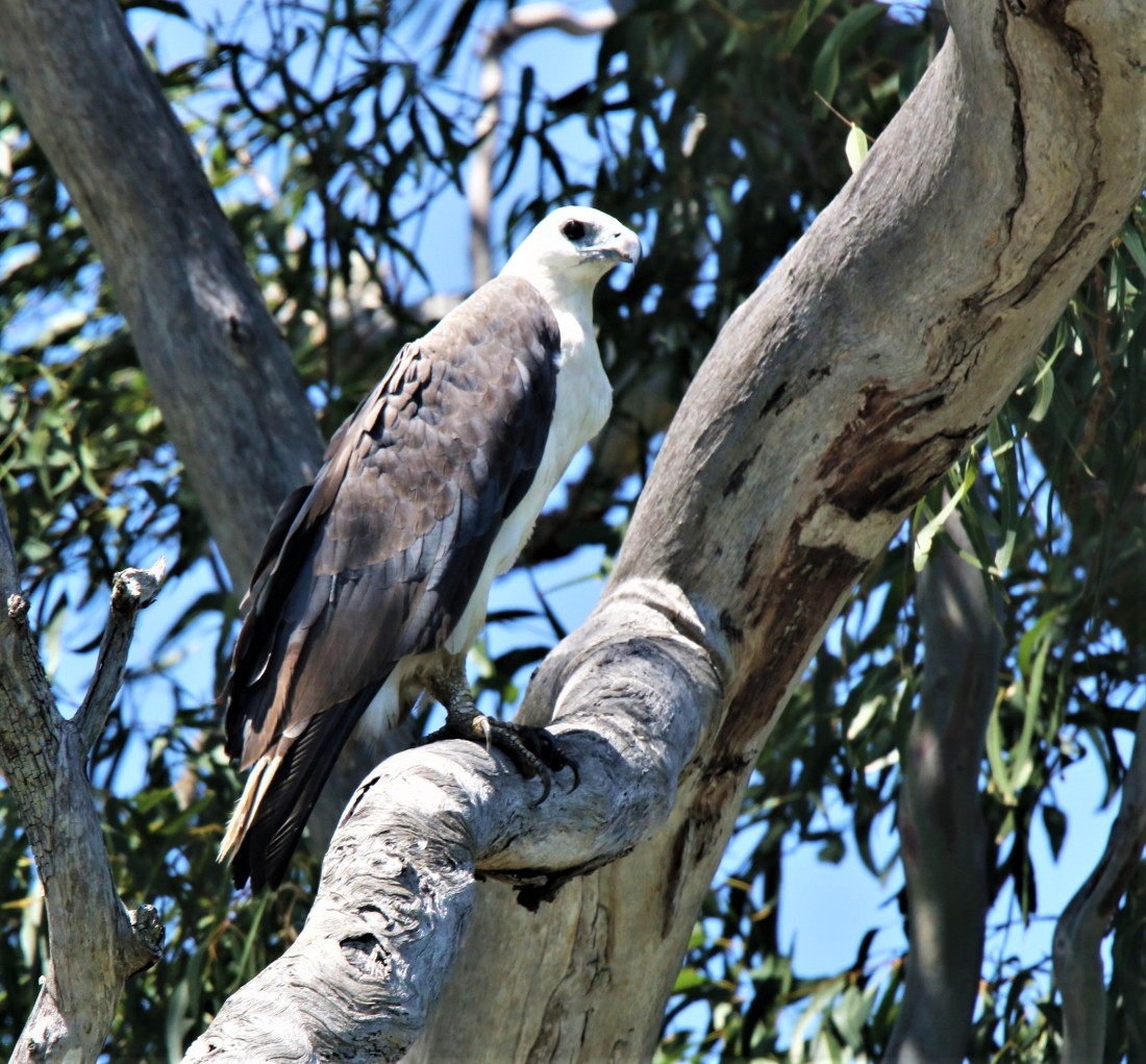 Sea-eagle, White-bellied ad m
