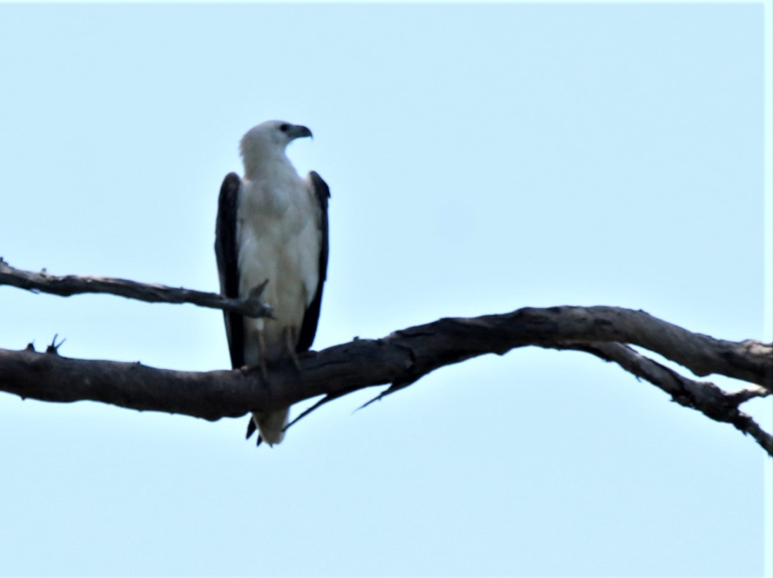 Sea-eagle, White-bellied