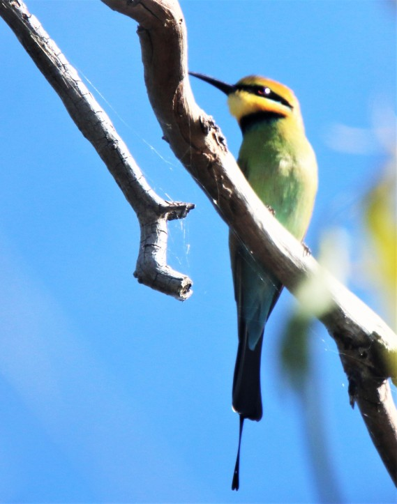 Bee-eater, Rainbow m adult