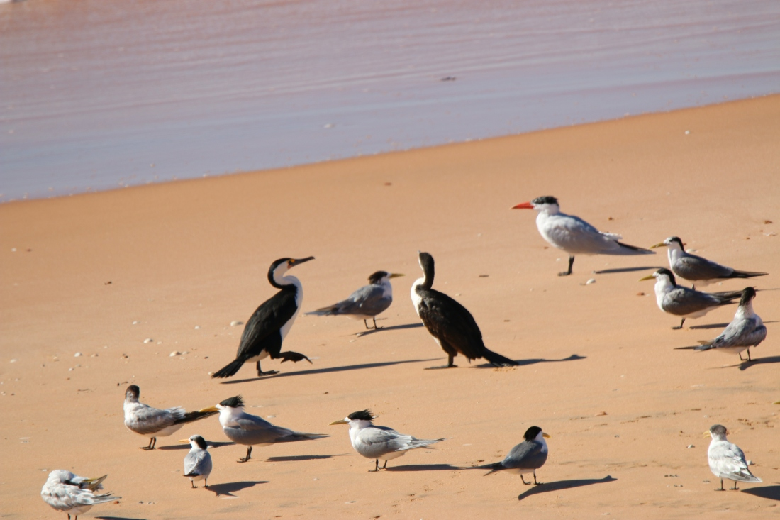 Cormorant, Pied; Tern crested and Tern Caspian (red bill)
