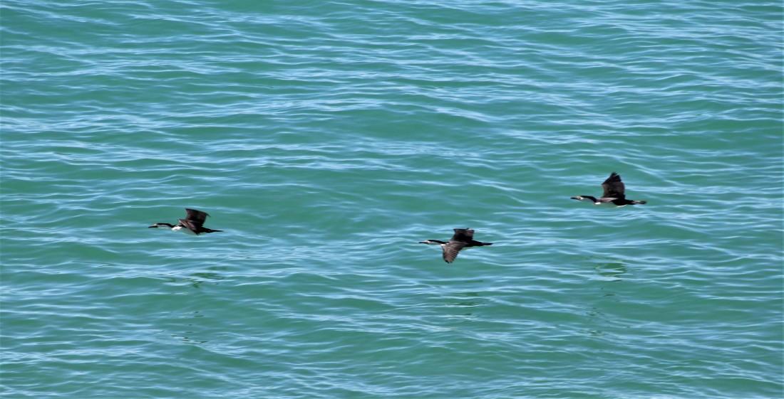 Cormorants, Pied