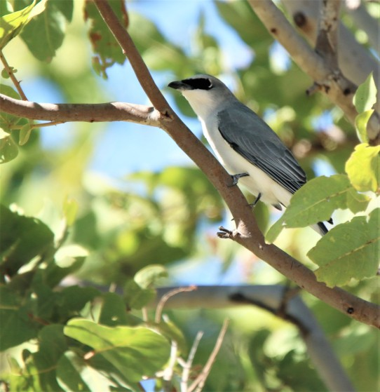 Cuckoo-Shrike, Black-faced imm