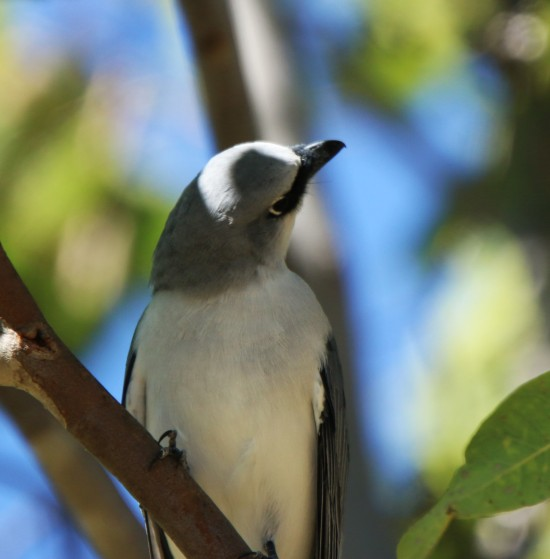 Cuckoo-Shrike, Black-faced Imm2