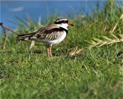 Dotterill, Black -fronted