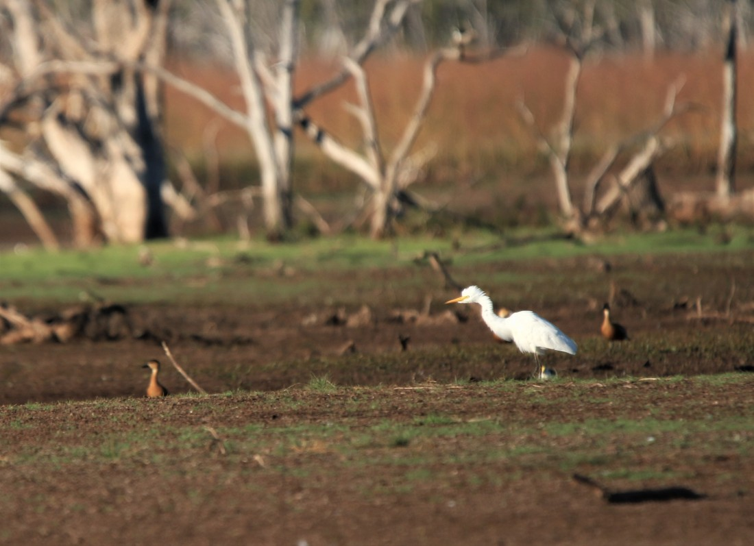 Egret, Eastern Cattle on western limit of territory