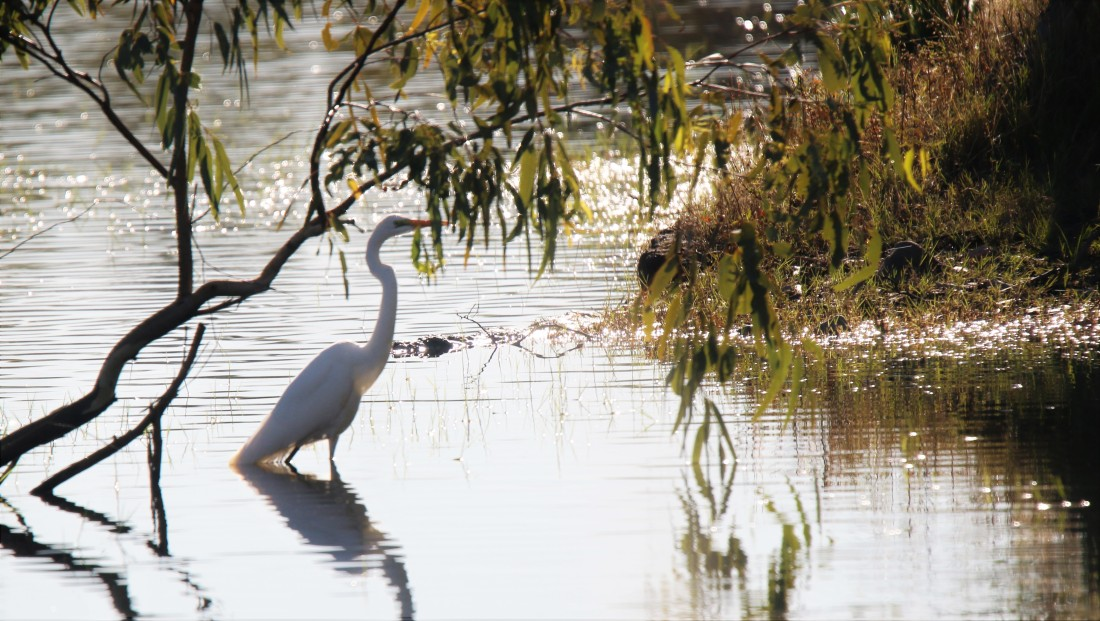 Egret, Great2