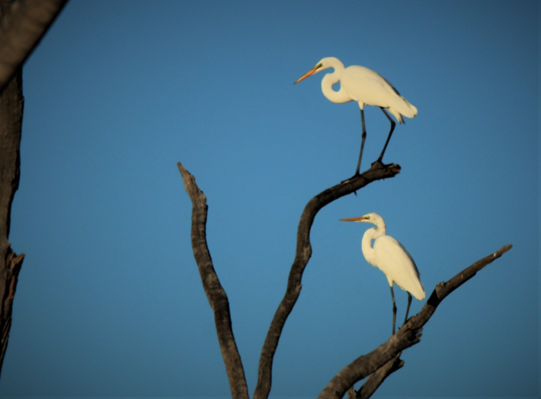 Egrets, Great