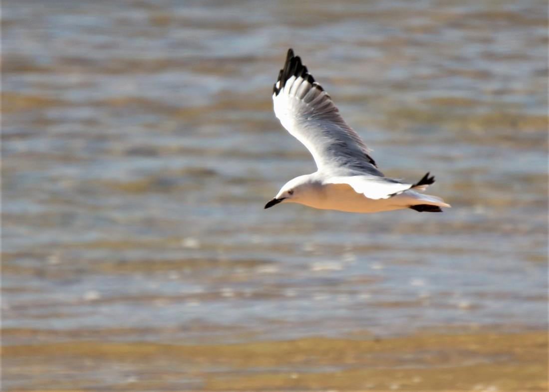 Gull, Silver (WA)