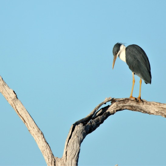 Heron, Pied breeding