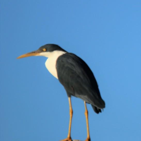 Heron, Pied