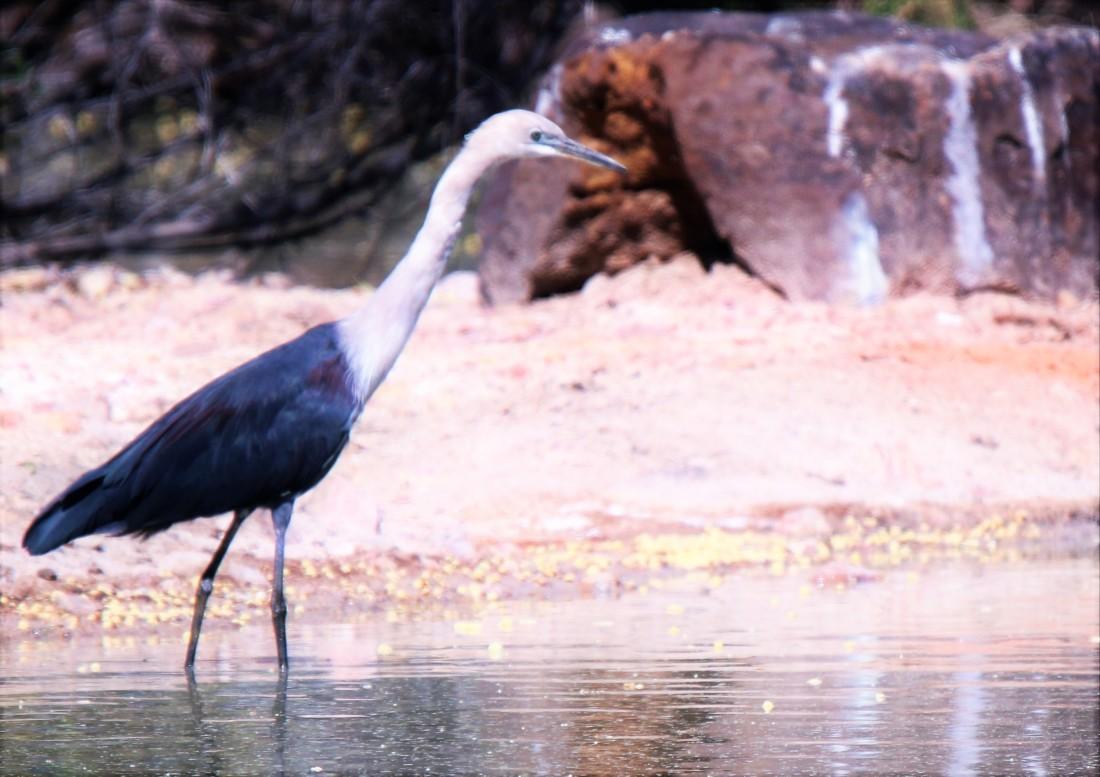 Heron, white-necked br