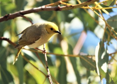 Honeyeater, White-naped bathing4