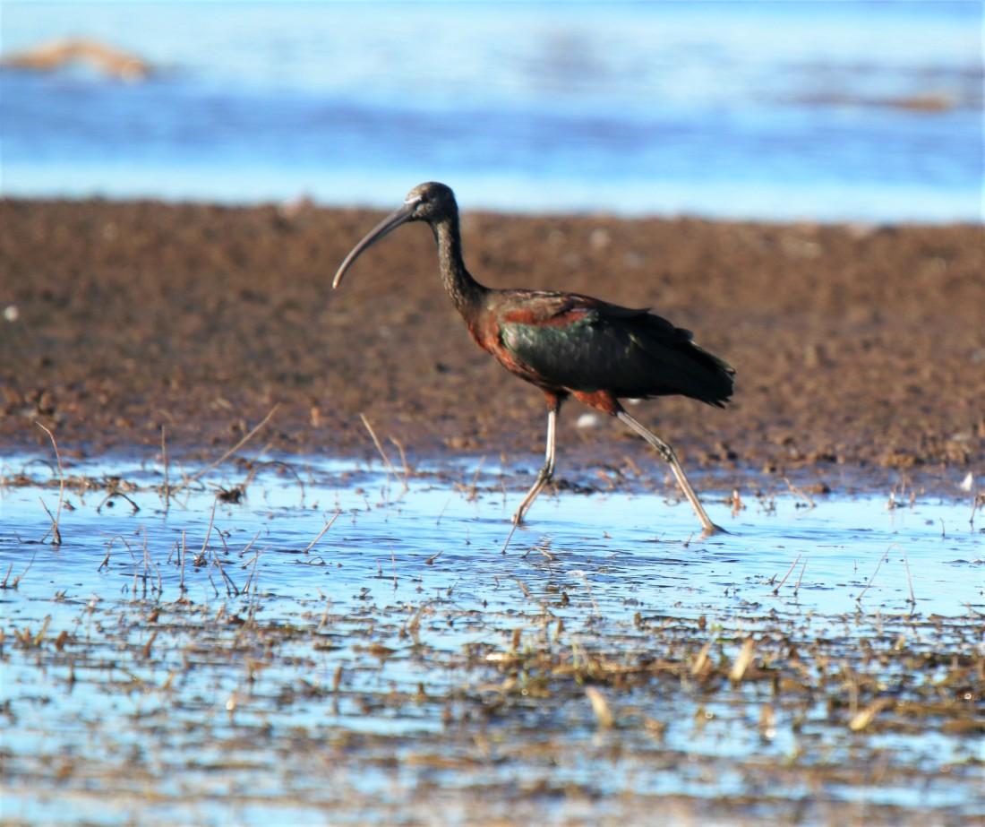 Ibis, Glossy breeding
