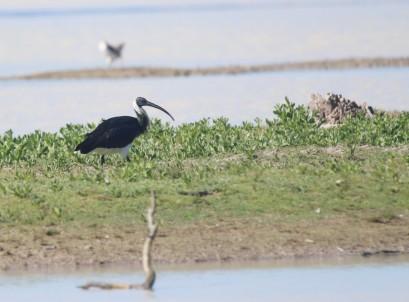 Ibis, Straw-necked2