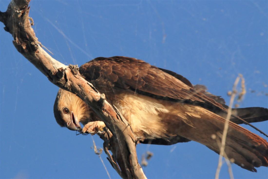 Kite, Whistling